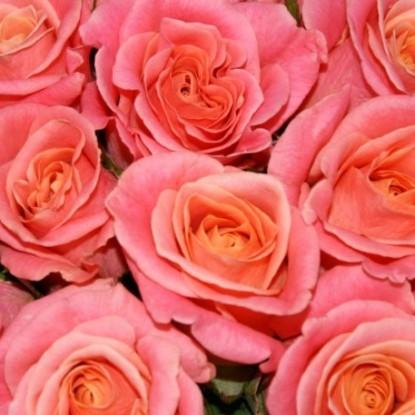Роза Корал Фиеста BARNI