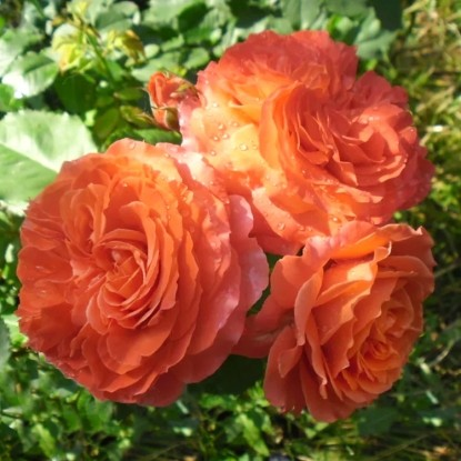 Роза Эмилиен Гийо штамбовая