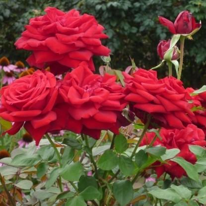 Роза Бургунд 81 KORDES