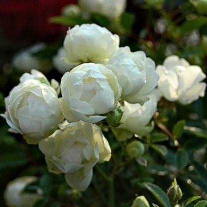 Роза Сноу Вайт F.J. Grootendorst