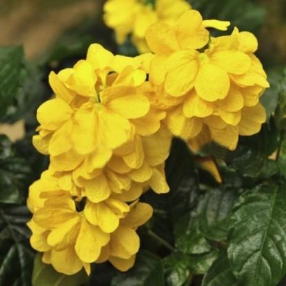 Кроссандра Тропик желтая (сер. Элитная клумба)