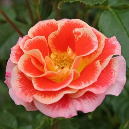 Роза Эйрбраш