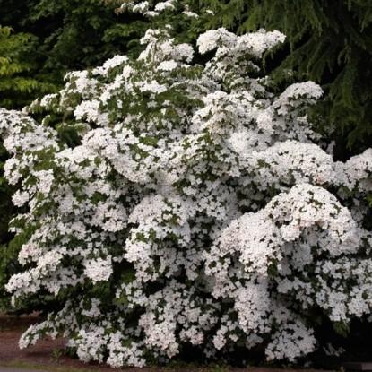 Дерен Флорида белая, цветущий (семена)