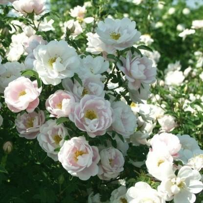 Роза Ликкефунд С2