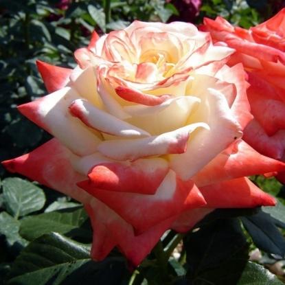 Роза Императрица Фарах штамбовая