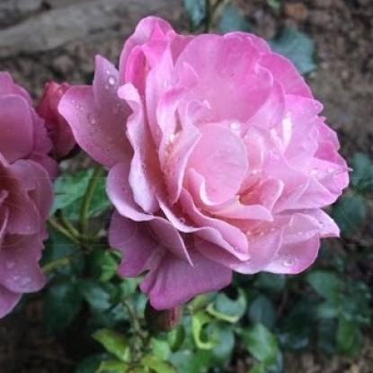 Роза Пиноккио TANTAU
