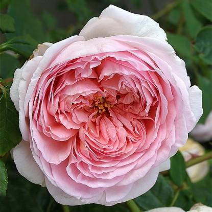 Роза Херитейдж штамбовая