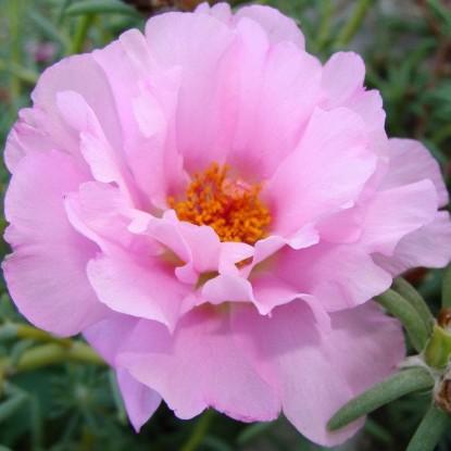 Портулак Розовая дымка (серия Розовые сны)