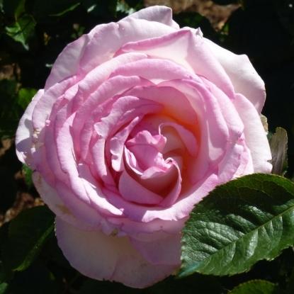 Роза Мунстоун