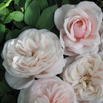 Роза Сувенир де ля Малмэйзон HISTORICAL