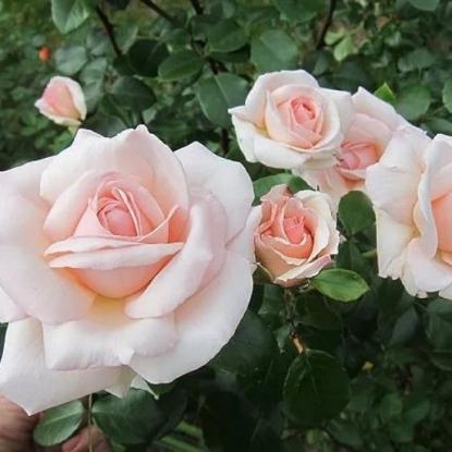 Роза Пенни Лейн HARKNESS