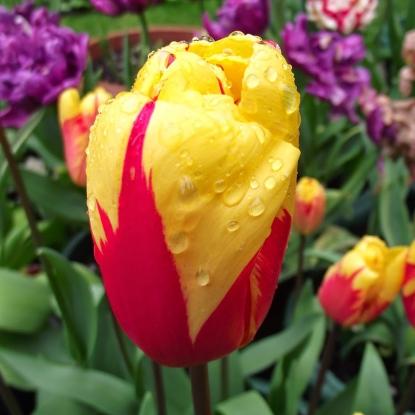 Тюльпан Вашингтон