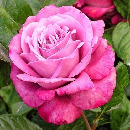 Роза Блю Ривер штамбовая