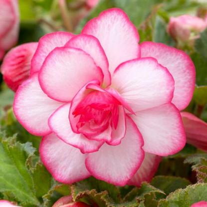 Бегония Пикоти бело-розовая