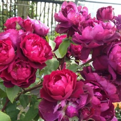 Роза Кардинал Хьюм