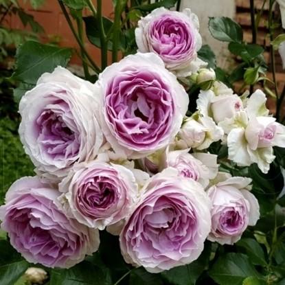 Роза Везалиус VISSERS