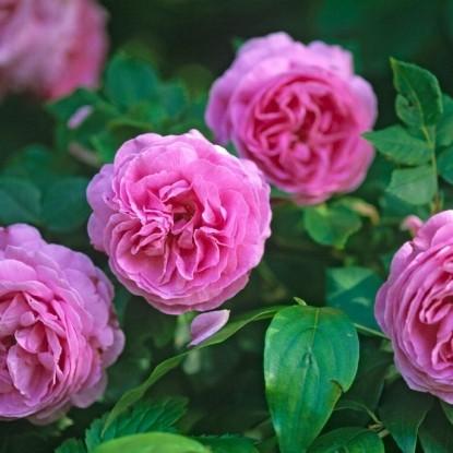 Роза Луис Одье