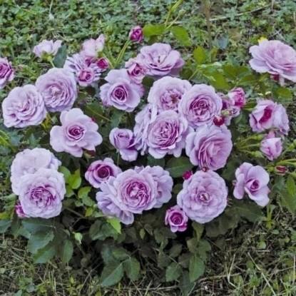 Роза Парбле BARNI