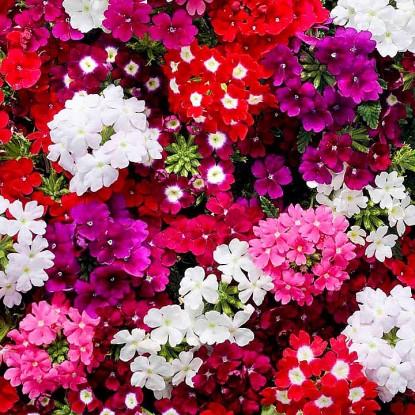 Вербена Крупноцветковая, смесь