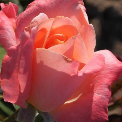 Роза Атлантик Стар FRYER