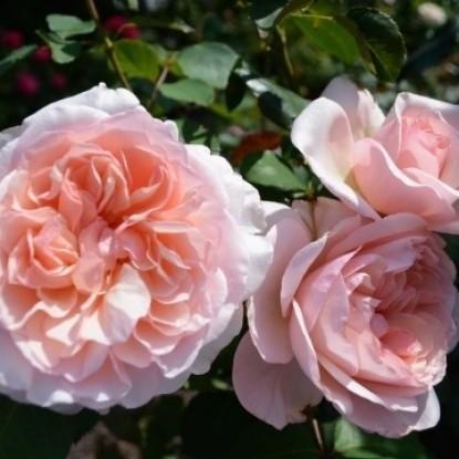 Роза Розето Карла Финески BARNI
