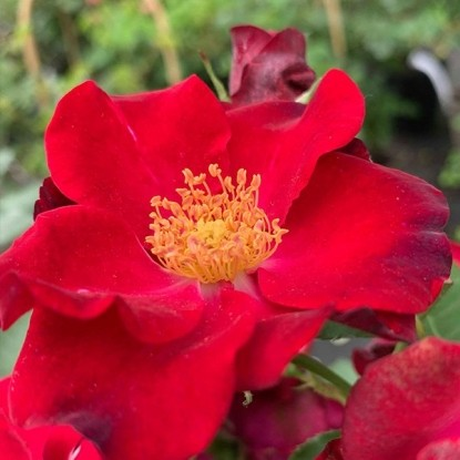 Роза Вильгельм KORDES