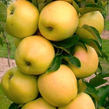 Яблоня Медок (колоновидная), двухлетняя