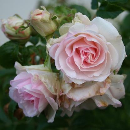 Роза Полярис MEILLAND