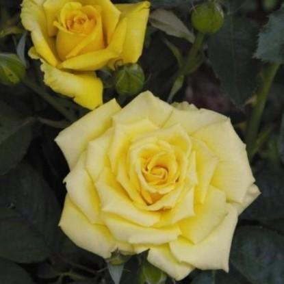 Роза Альба Кьяра BARNI (2 сорт)