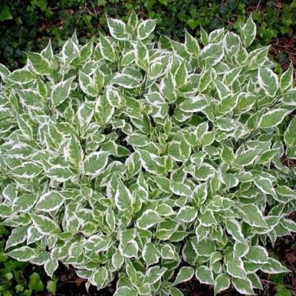 Дерен белый Карантус (семена)
