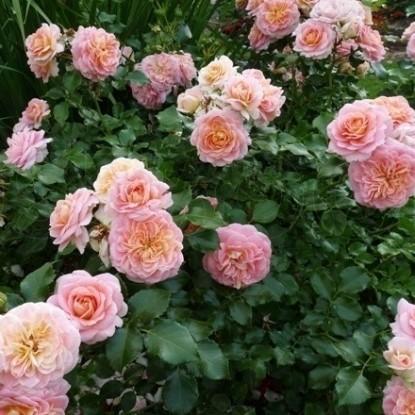 Роза Концерто 94