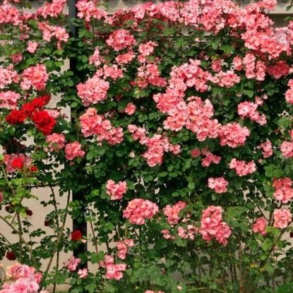 Роза Инканто BARNI