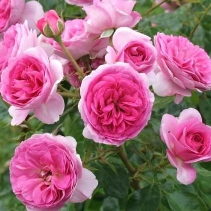 Роза Озеана TANTAU