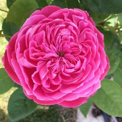 Роза Академия BARNI