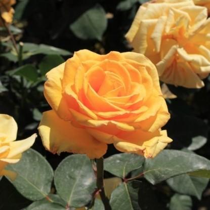 Роза Альба Кьяра BARNI