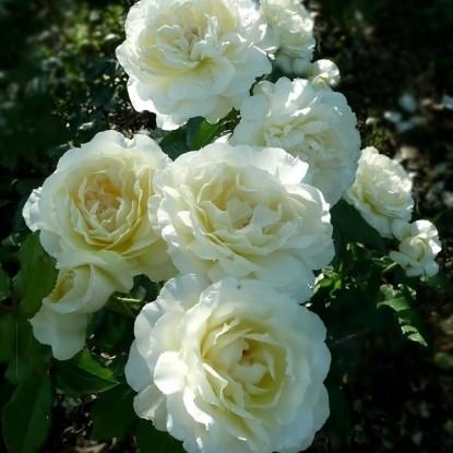 Роза Чайковский MEILLAND