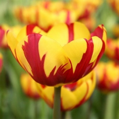 Тюльпан Хелмар
