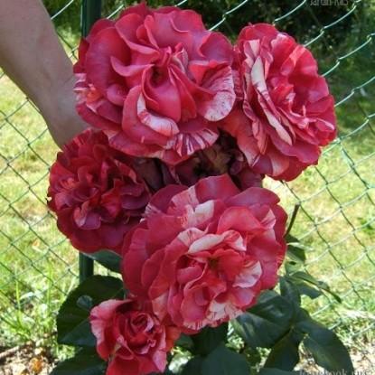 Роза Брауни