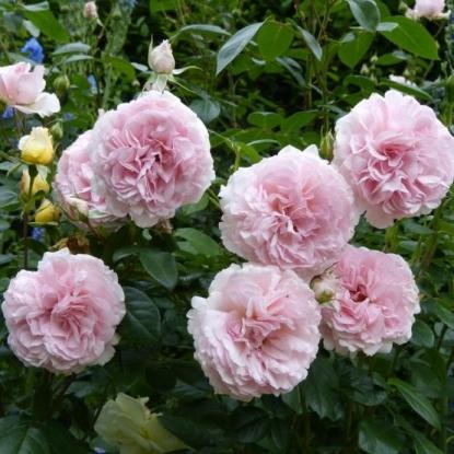 Роза Александра Принцесса де Люксембург
