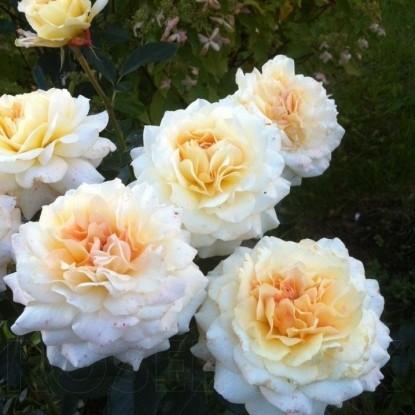 Роза Маржолаине