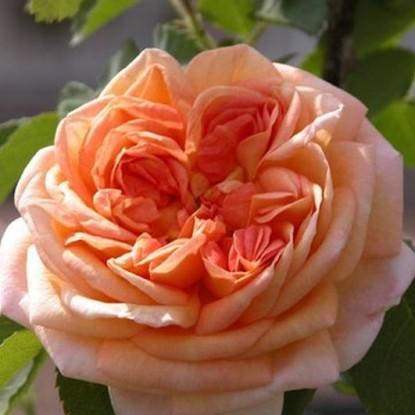 Роза Алхимик HISTORICAL