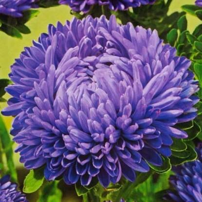 Астра Гремлин темно-фиолетовый