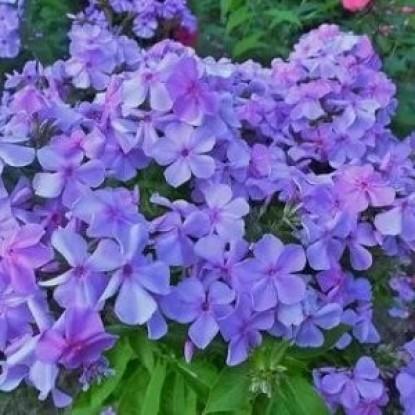 Флокс Чаровница фиолетовая, друммонда (сер. Лавандовые грезы)