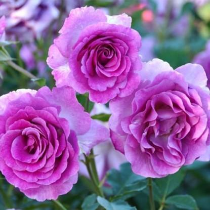 Роза Виолет Парфюм С2