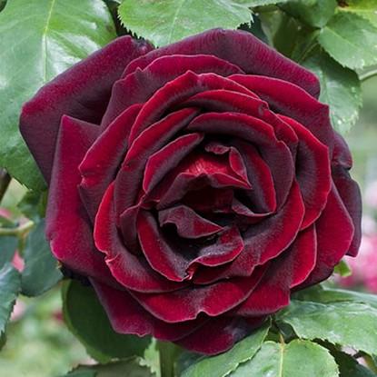 Роза Папа Мейян