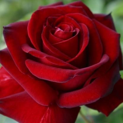 Роза Эротика