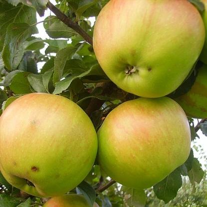 Яблоня Вербнае