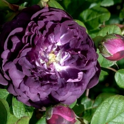 Роза Кардинал де Ришелье HISTORICAL