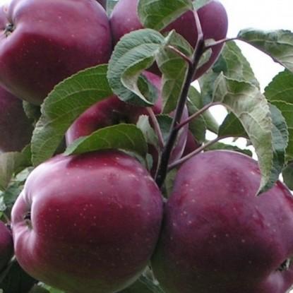 Яблоня Имант