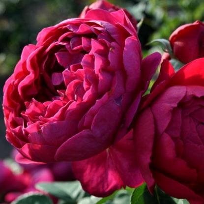 Роза Аскот TANTAU